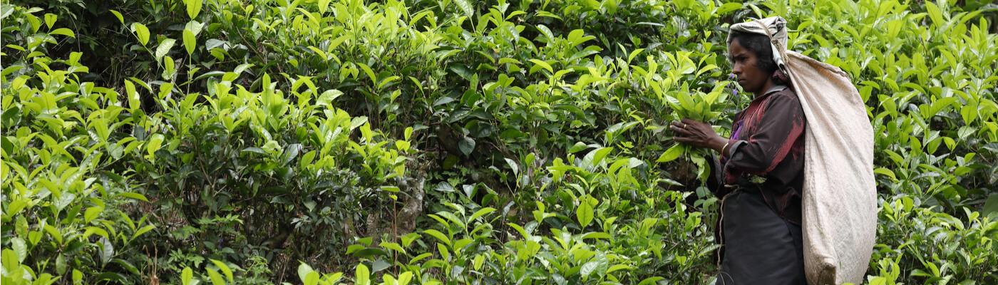 El mejor té del mundo en Nuwara Eliya