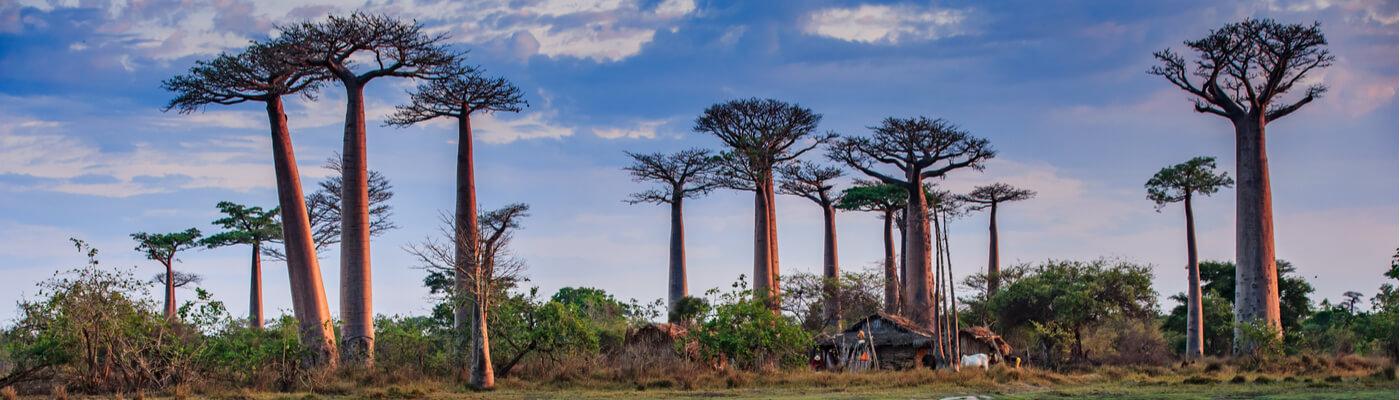 Avenida de los Baobabs