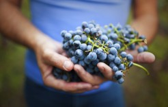 Uvas en Cuenca, Huete