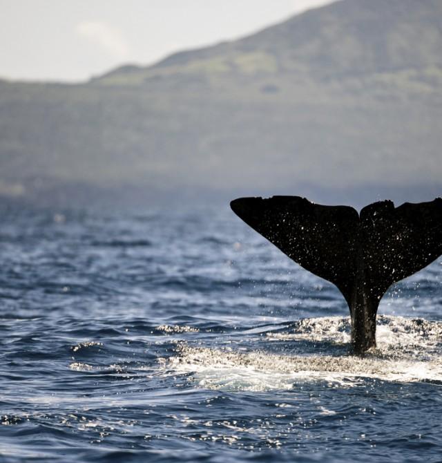 Delfines y cetáceos en Azores en Portugal