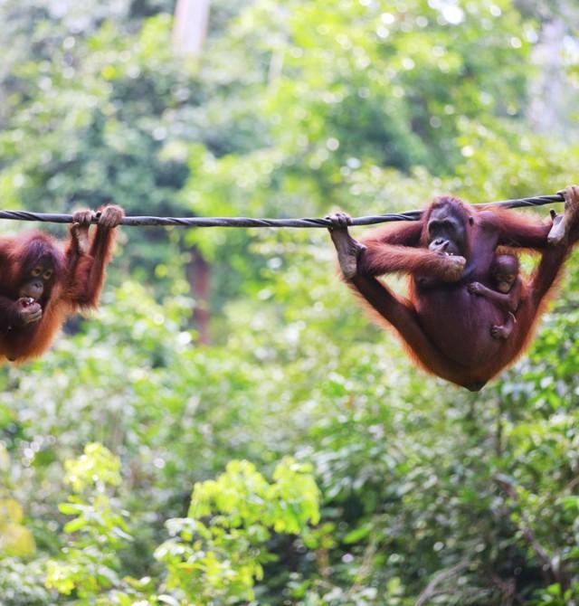 Los monos con mayor parecido humano en Malasia