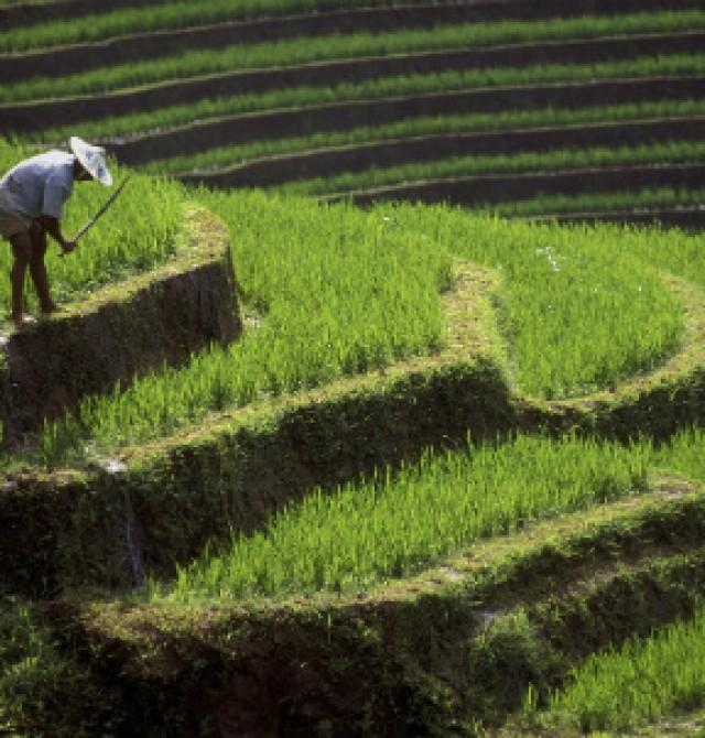 Planaciones de arroz en Ubud en Indonesia