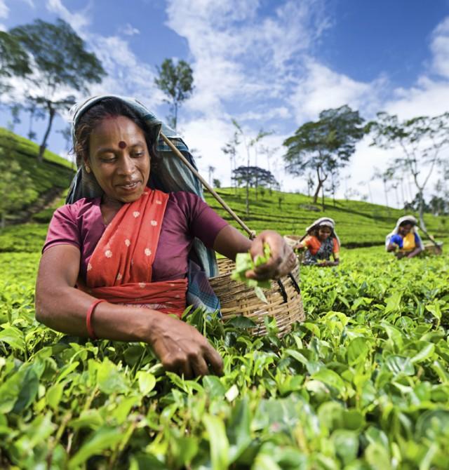 Mujer recolectando hojas de té en Sri Lanka y Maldivas