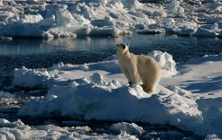 El gran oso polar en Noruega