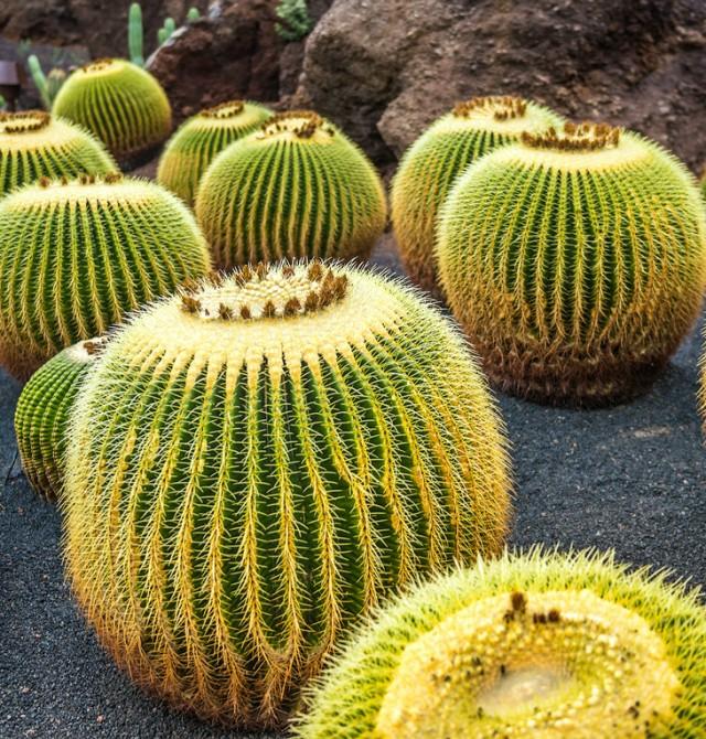 Jardín de cactus en Guatiza