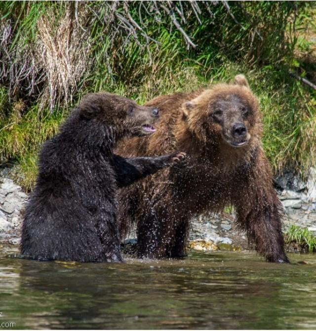 Observación de osos pardos en Rusia, Kamchatka