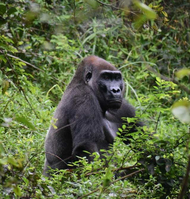Gorilas en Yotouga