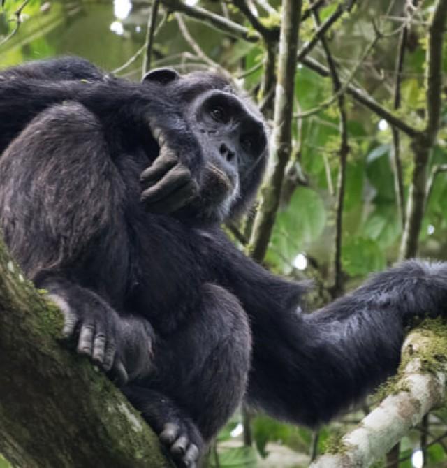 Chimpancés en Kenia