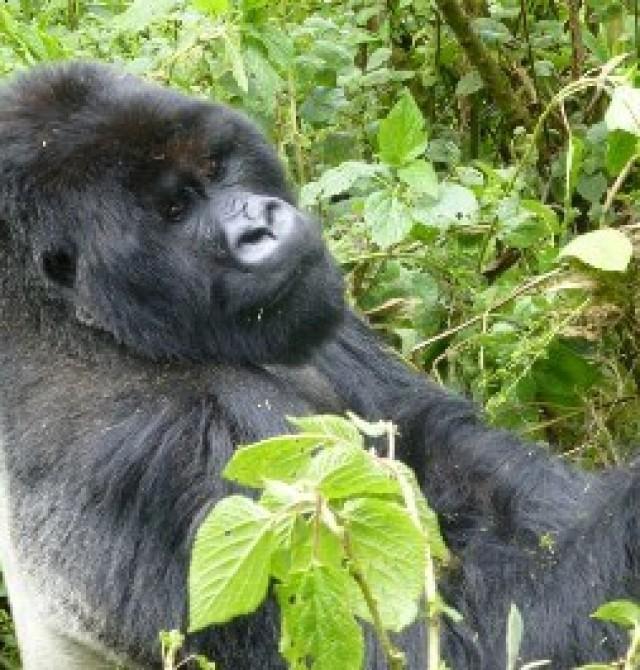 Rastreo a los gorilas