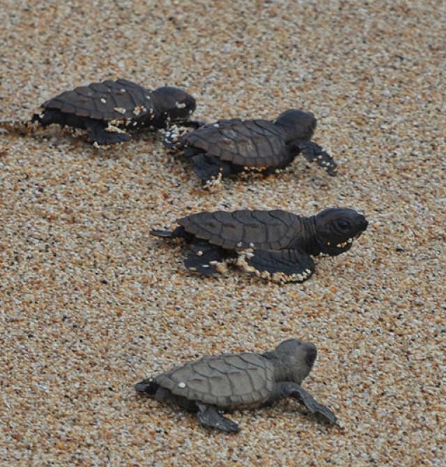 Observación de tortugas marinas en Santo Tomé y Príncipe