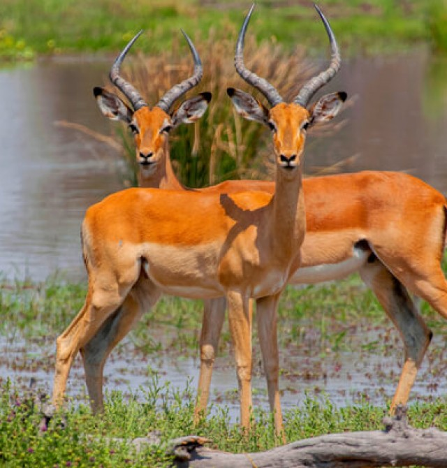Fauna en Moremi