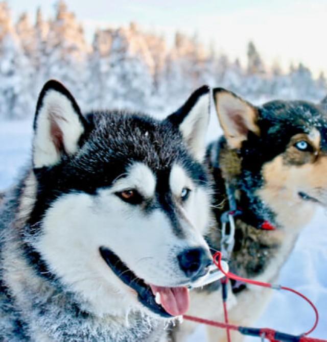 Trineo de huskies  en Suecia