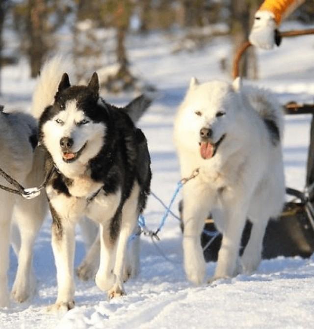 Perros en trineo en Suecia