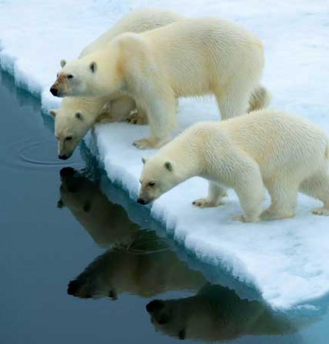 Oso polar en Rusia