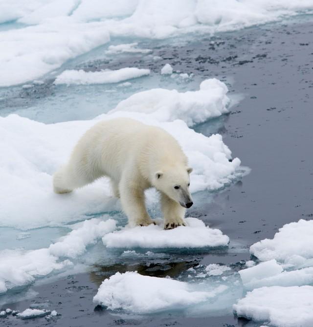 Fotografiando al gran oso polar en Svalbard