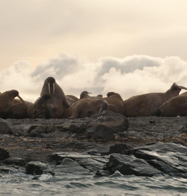 Fauna ártica en Svalbard