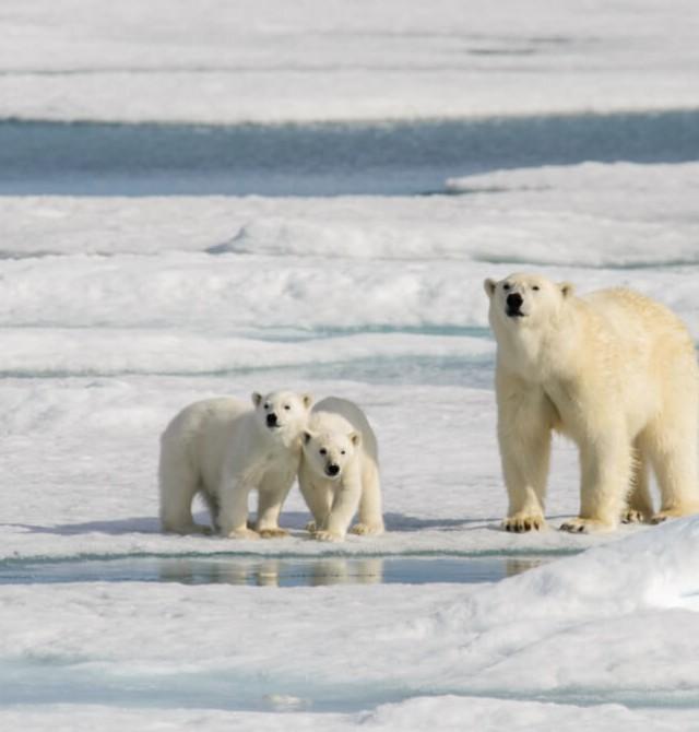 El rey del ártico en Svalbard