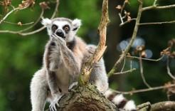 Lemur en Madagascar