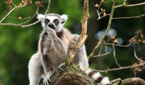 Lemur. Viaje a Madagascar con PANGEA The Travel Store