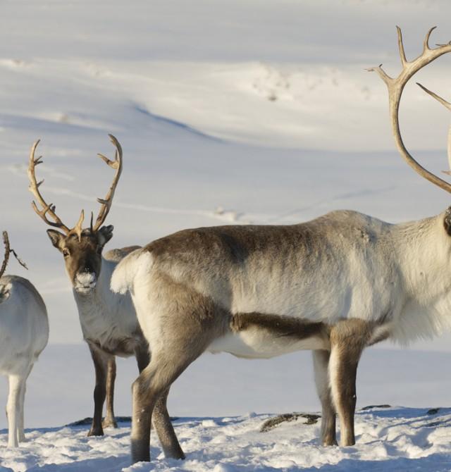 Fauna boreal en Suecia - Finlandia - Noruega