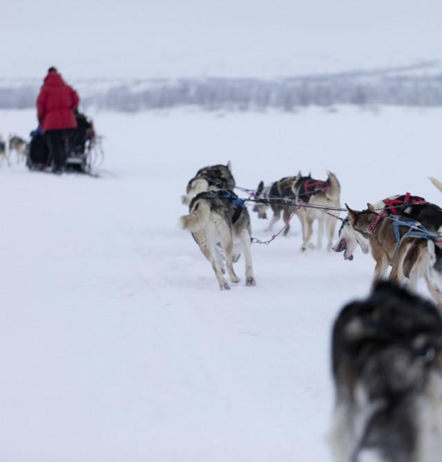 Los huskys mandan en Suecia - Finlandia - Noruega