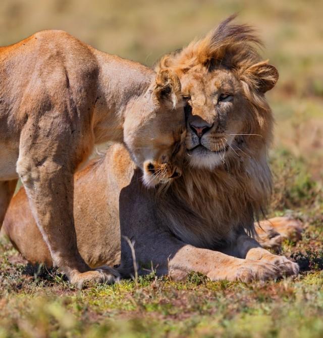 Familia de Leones en Kenia