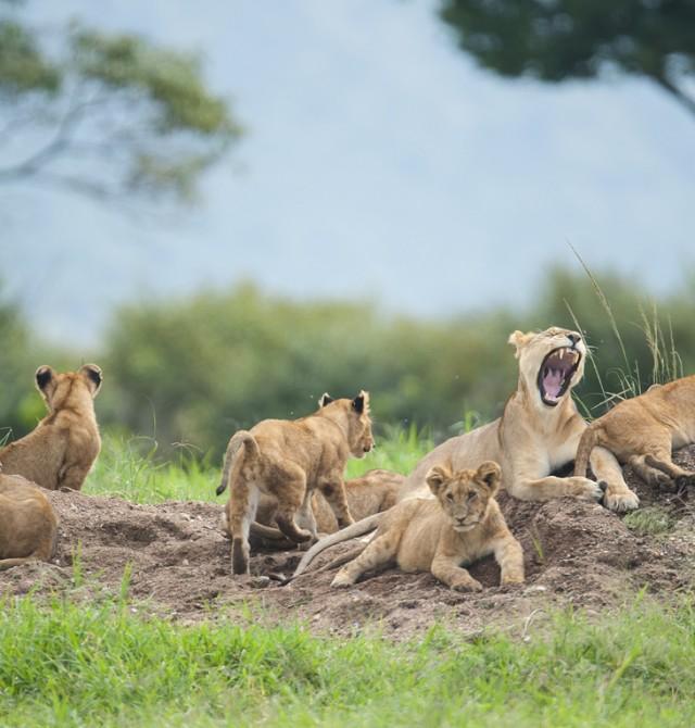 Leones en Kenia en Kenia