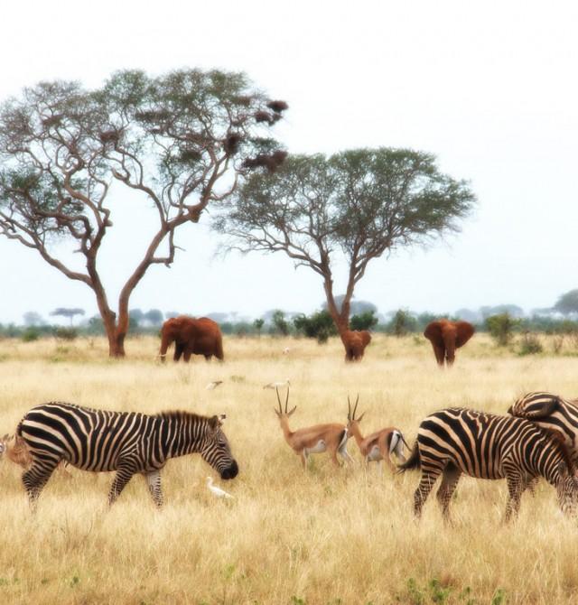 Cebras en Kenia en Kenia