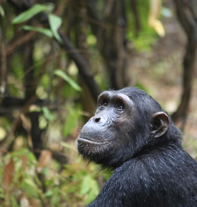 El amor de Jane Goodall en Kenia