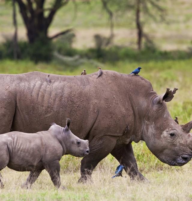 Cuidado, que vienen los rinos en Kenia