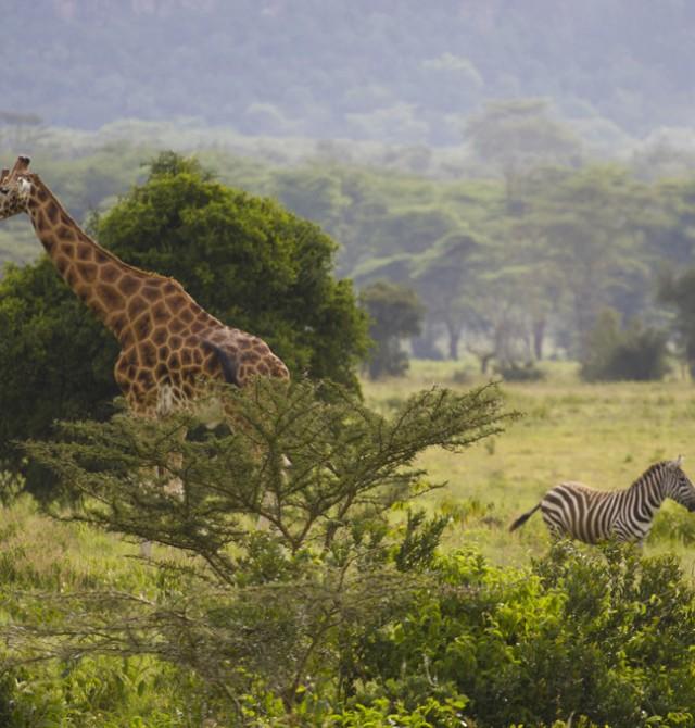 Cebras y jirafas en Kenia en Kenia