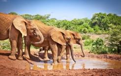 Elefantes apurando el agua en Kenia