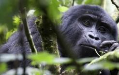 Hora de comer para los gorilas en Uganda