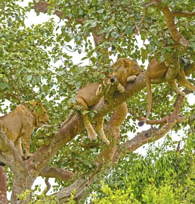 ¿Un león en un árbol? en Uganda