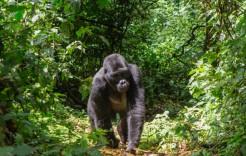Gorila en Bwindi en Uganda  y Seychelles