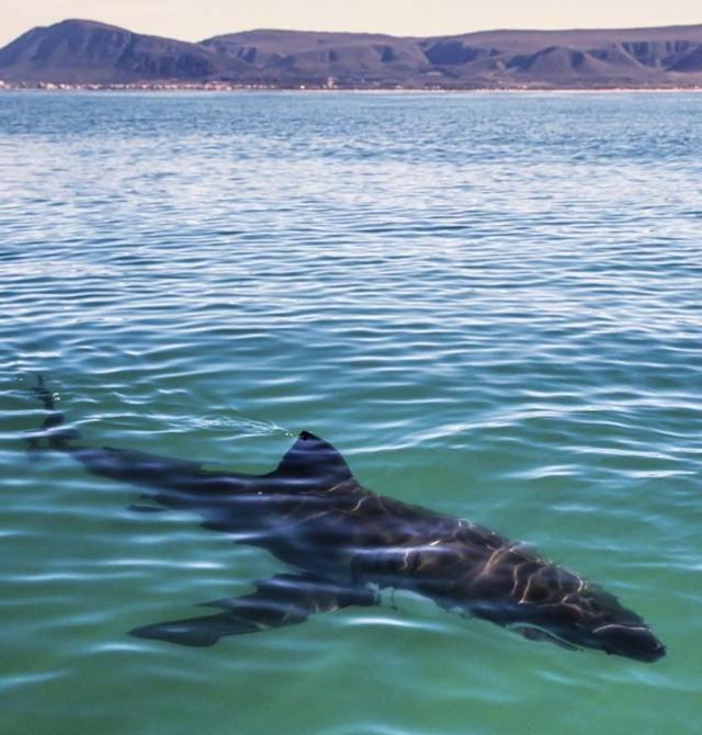 Nadando con los tiburones blancos