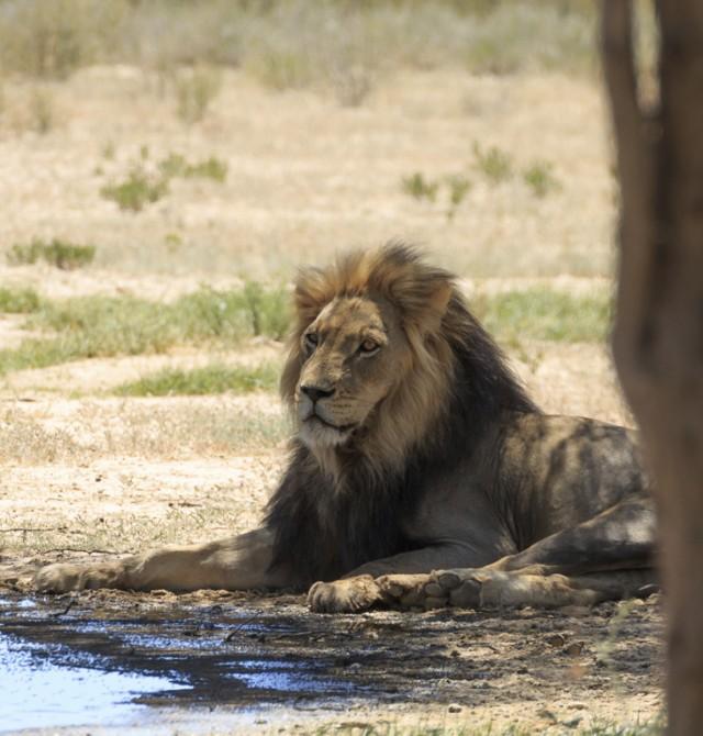 El león está vigilante en Sudáfrica