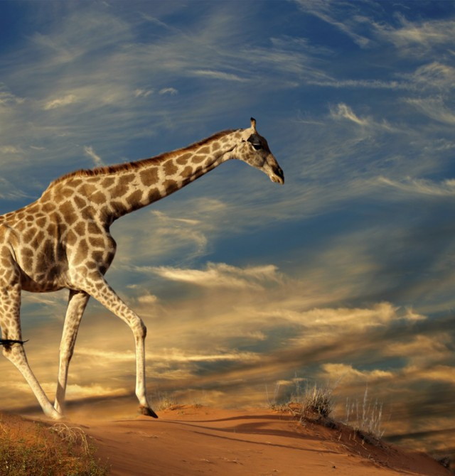 Jirafa sobre una duna en Sudáfrica