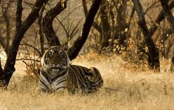 Tigre de Bengala en India