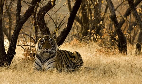 Tigre de Bengala. Viaje a India con PANGEA The Travel Store